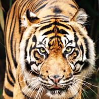 Jungle Tiger Necktie